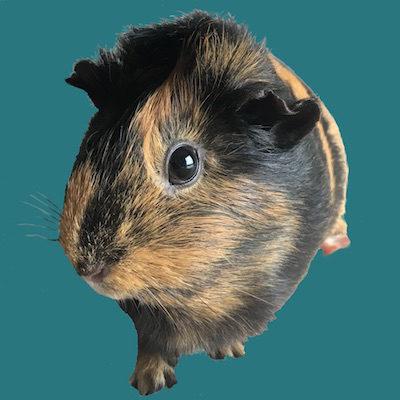 Guinea Pig Experiment